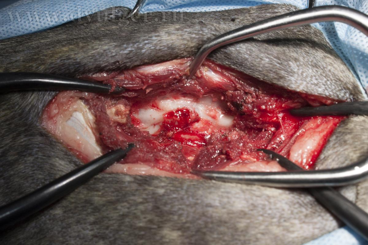 Гемиламинэктомияу у собаки