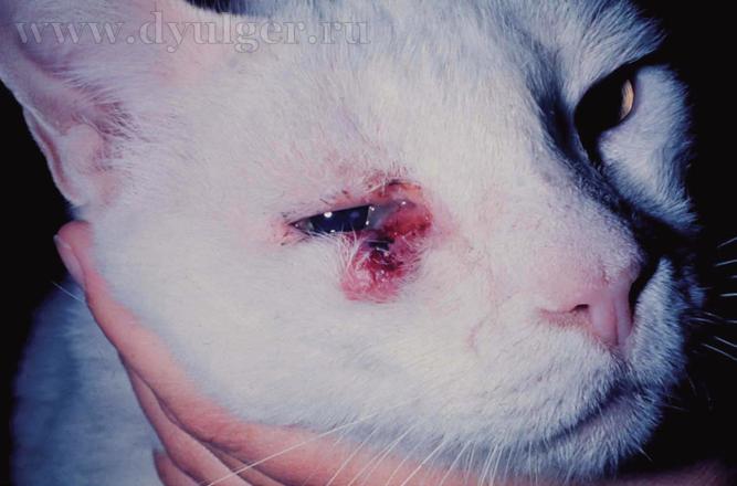 Плоскоклеточный рак у кошки