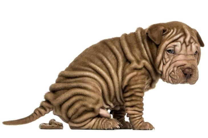 Диарея (понос) у собак и кошек
