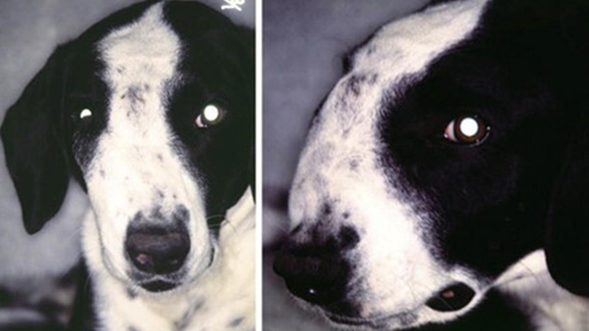 Опухоли носовой полости у собак и кошек