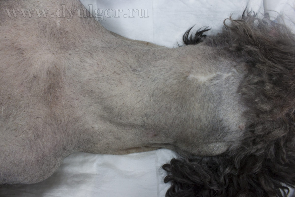 Опухоль щитовидной железы у собаки