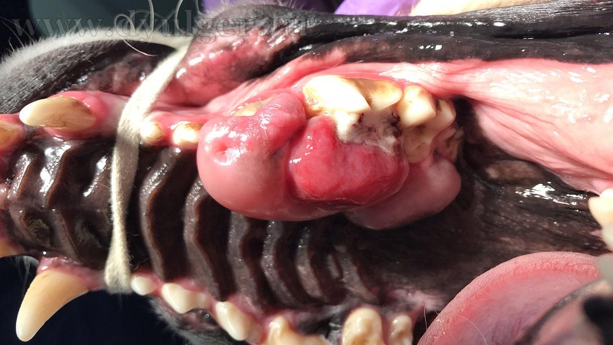 Опухоли ротовой полости у собак и кошек