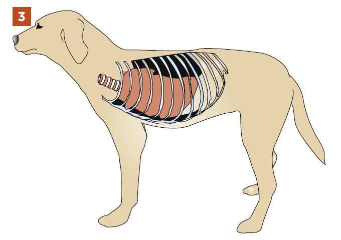 Пневмоторакс у собак и кошек