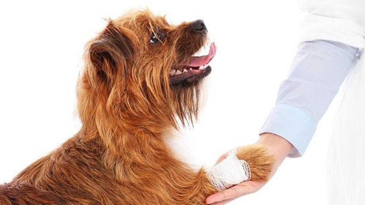 Хромота (перемежающаяся, возрастная) у собаки: виды, причины, диагностика и лечение