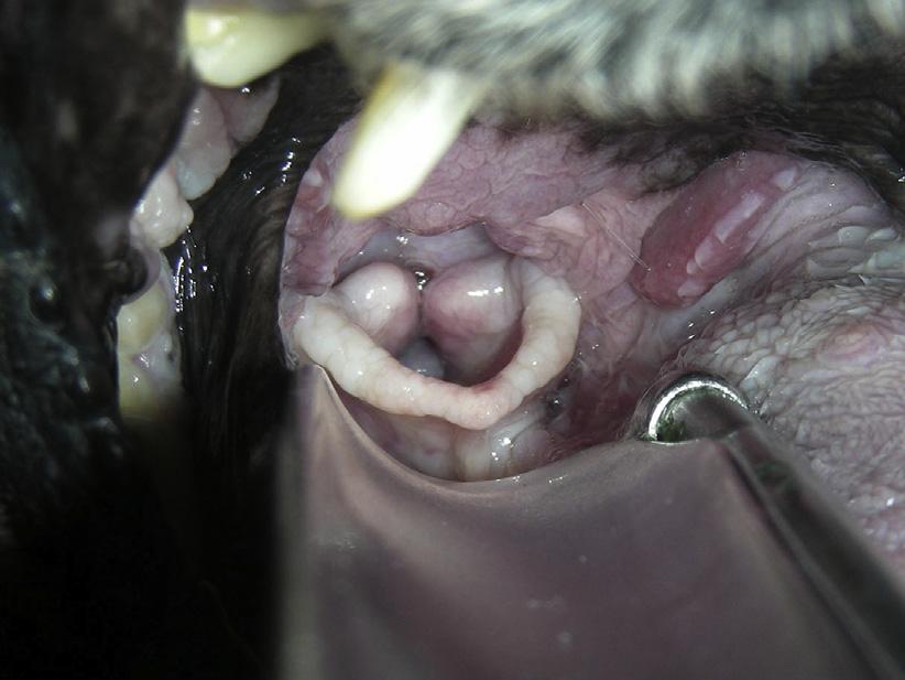 Паралич и другие заболевания гортани у собак и кошек